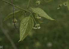 Celtis occidentalis 2